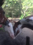Baby Doe Reunites With Her Full Brother, Fritz, While Spirit Sticks His Sweet Nose Into Their Reunion :)